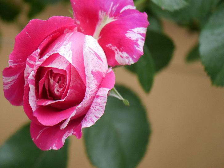 フランボワーズ バニーユ(Framboise Vanille)の花がたくさん咲いた。2021年-069.jpg