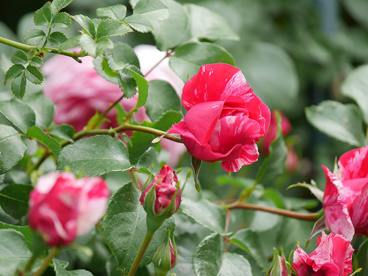 フランボワーズ バニーユ(Framboise Vanille)の花がたくさん咲いた。2021年-070.jpg