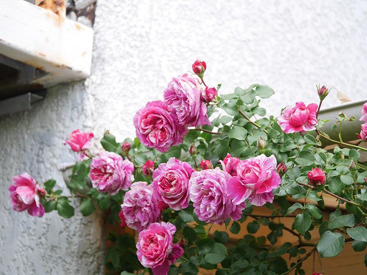 フランボワーズ バニーユ(Framboise Vanille)の花がたくさん咲いた。2021年-071.jpg