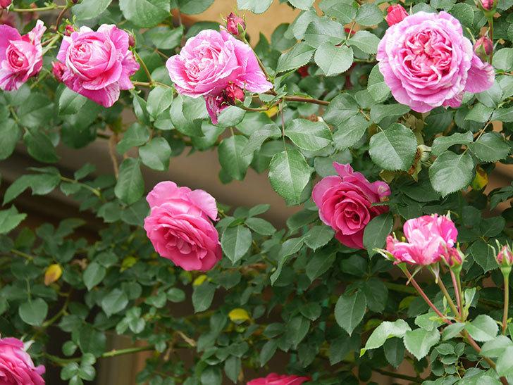 フランボワーズ バニーユ(Framboise Vanille)の花がたくさん咲いた。2021年-072.jpg