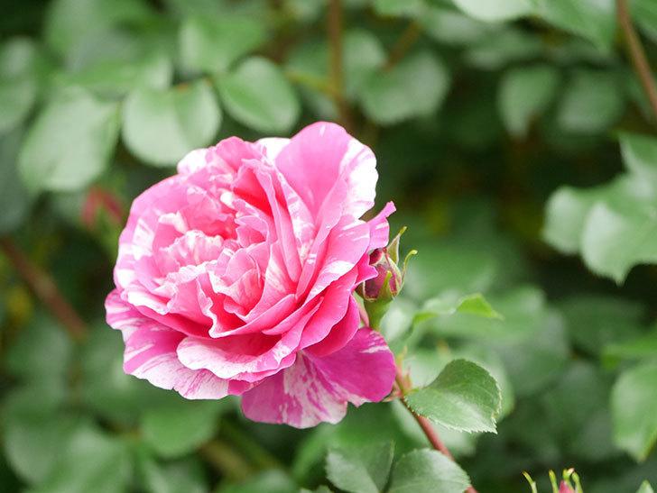 フランボワーズ バニーユ(Framboise Vanille)の花がたくさん咲いた。2021年-073.jpg