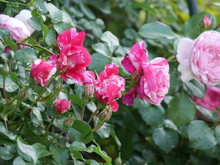 フランボワーズ バニーユ(Framboise Vanille)の花がたくさん咲いた。2021年-074.jpg
