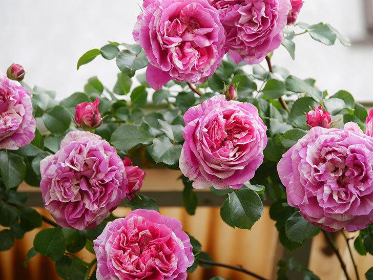 フランボワーズ バニーユ(Framboise Vanille)の花がたくさん咲いた。2021年-075.jpg