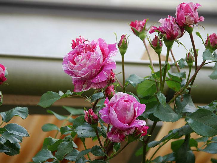 フランボワーズ バニーユ(Framboise Vanille)の花がたくさん咲いた。2021年-076.jpg