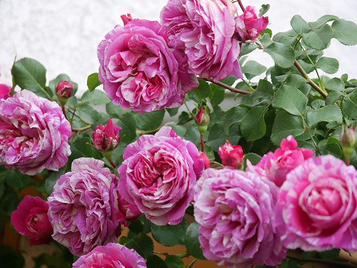 フランボワーズ バニーユ(Framboise Vanille)の花がたくさん咲いた。2021年-078.jpg
