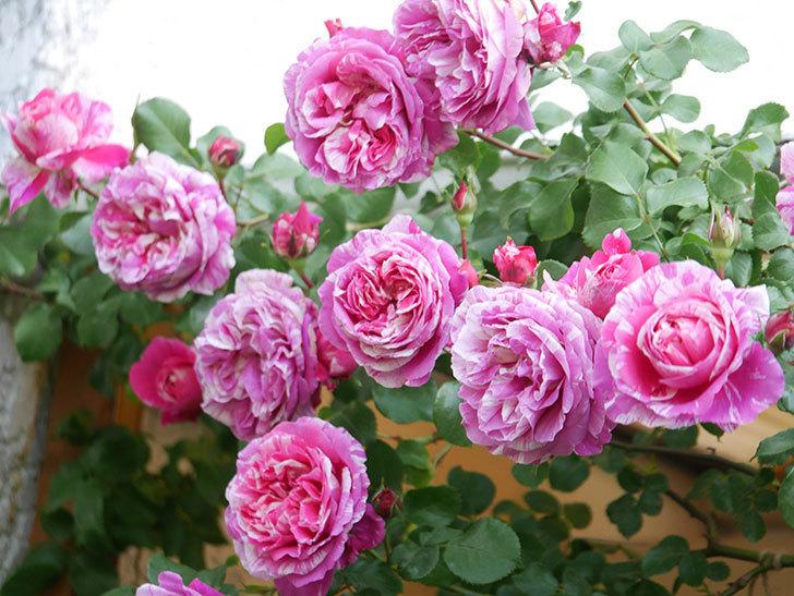 フランボワーズ バニーユ(Framboise Vanille)の花がたくさん咲いた。2021年-079.jpg