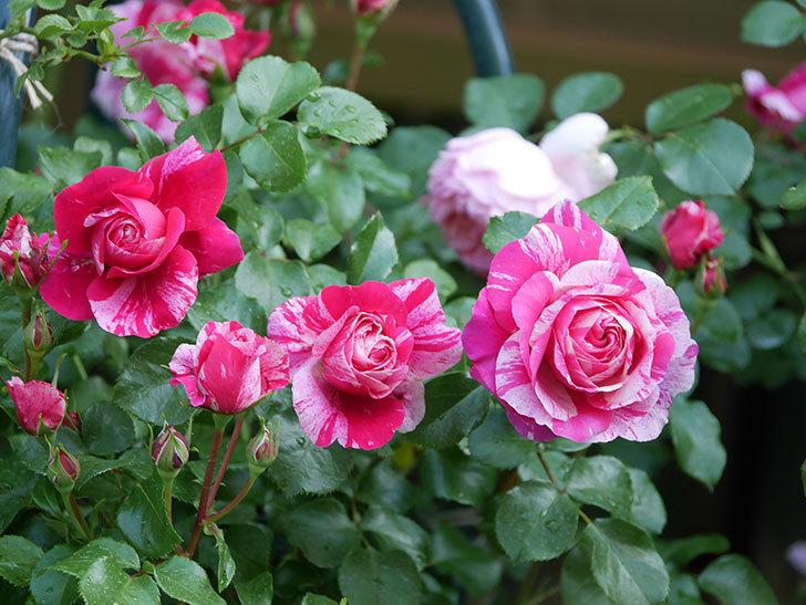 フランボワーズ バニーユ(Framboise Vanille)の花がたくさん咲いた。2021年-080.jpg