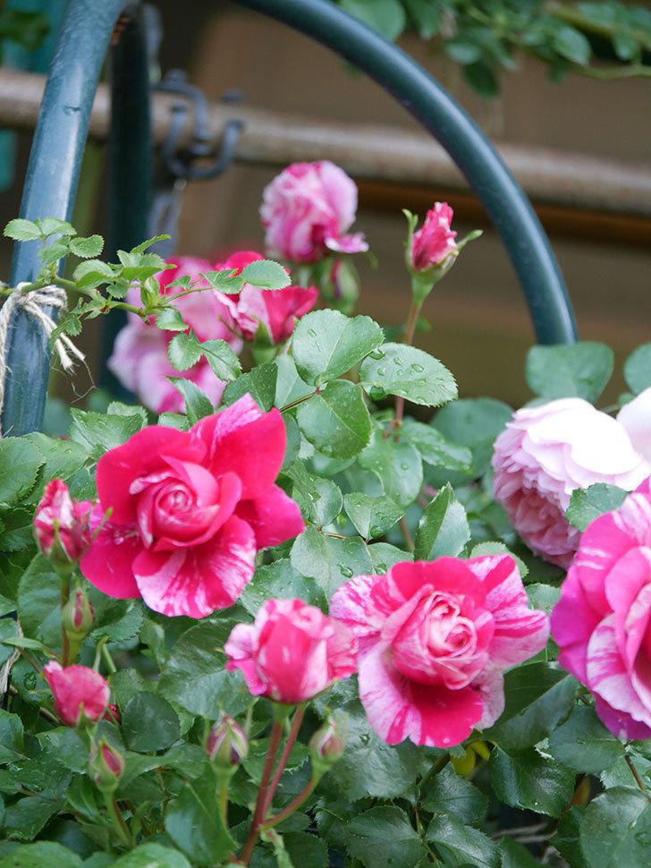 フランボワーズ バニーユ(Framboise Vanille)の花がたくさん咲いた。2021年-081.jpg