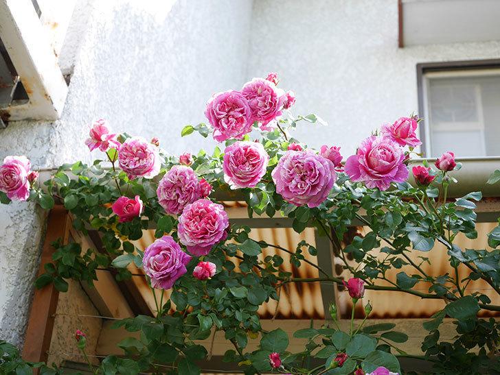 フランボワーズ バニーユ(Framboise Vanille)の花がたくさん咲いた。2021年-082.jpg