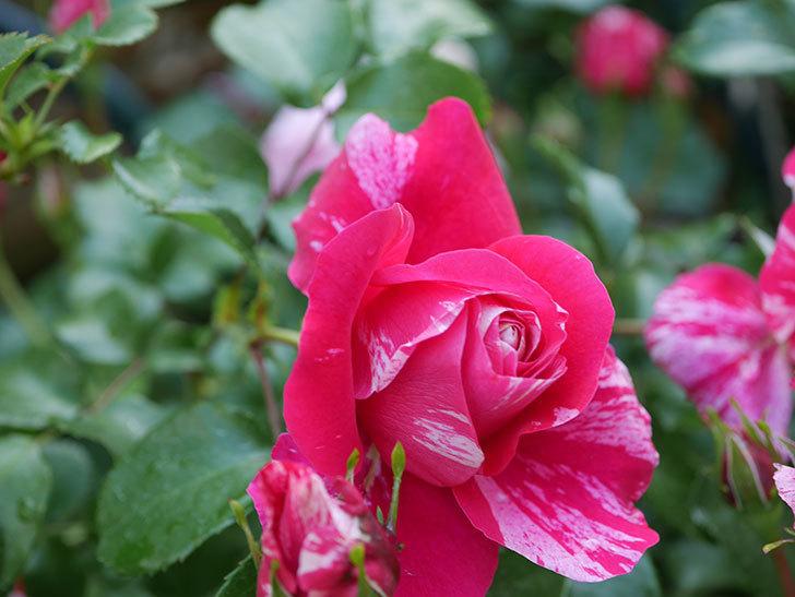 フランボワーズ バニーユ(Framboise Vanille)の花がたくさん咲いた。2021年-083.jpg