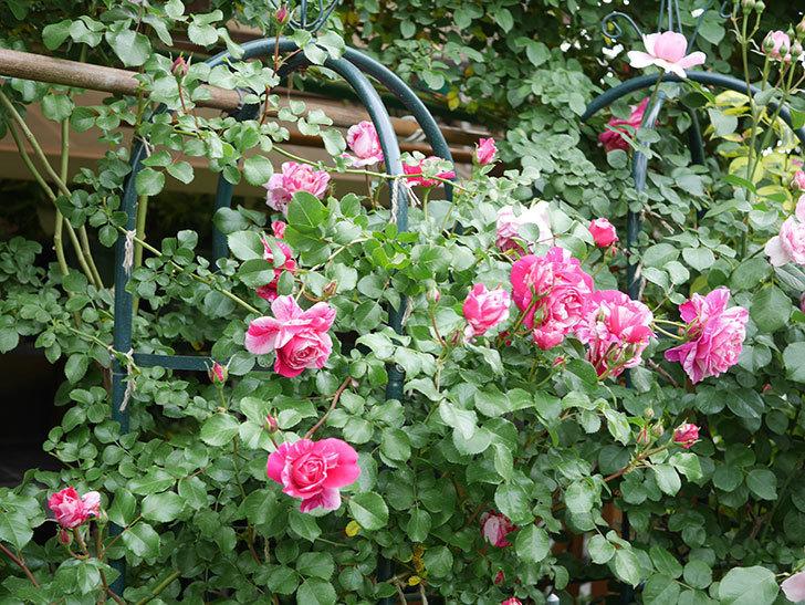 フランボワーズ バニーユ(Framboise Vanille)の花がたくさん咲いた。2021年-084.jpg
