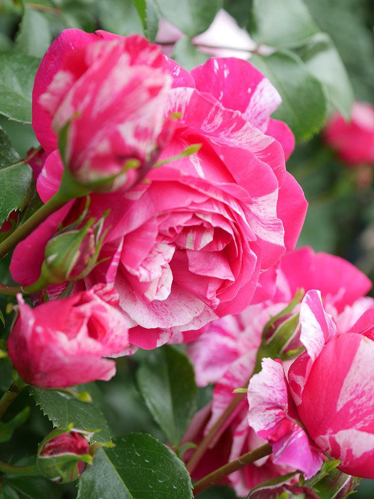 フランボワーズ バニーユ(Framboise Vanille)の花がたくさん咲いた。2021年-086.jpg