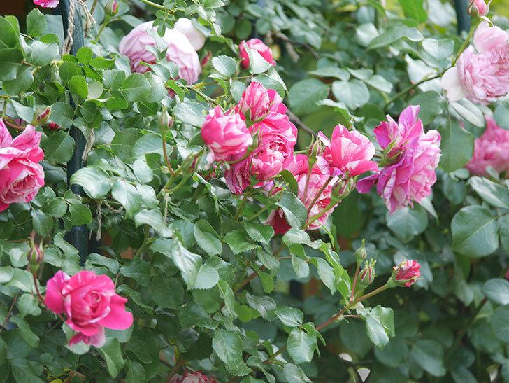 フランボワーズ バニーユ(Framboise Vanille)の花がたくさん咲いた。2021年-087.jpg