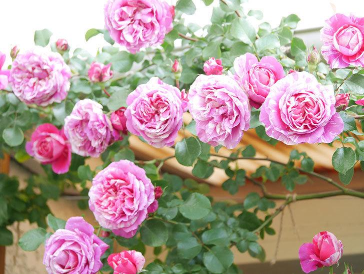 フランボワーズ バニーユ(Framboise Vanille)の花がたくさん咲いた。2021年-088.jpg