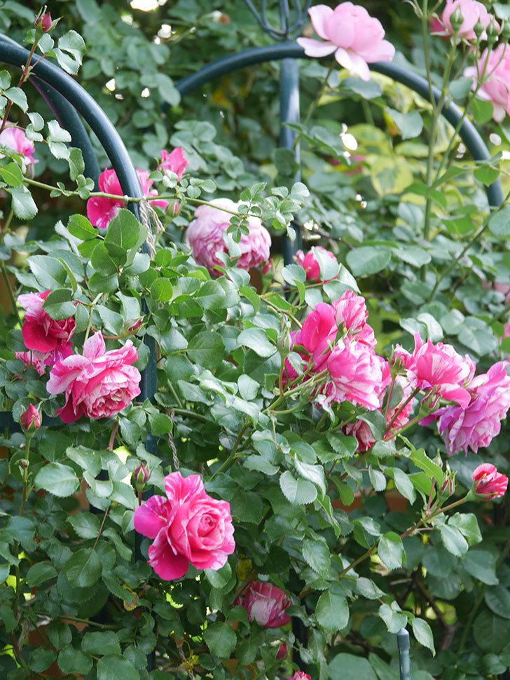 フランボワーズ バニーユ(Framboise Vanille)の花がたくさん咲いた。2021年-090.jpg