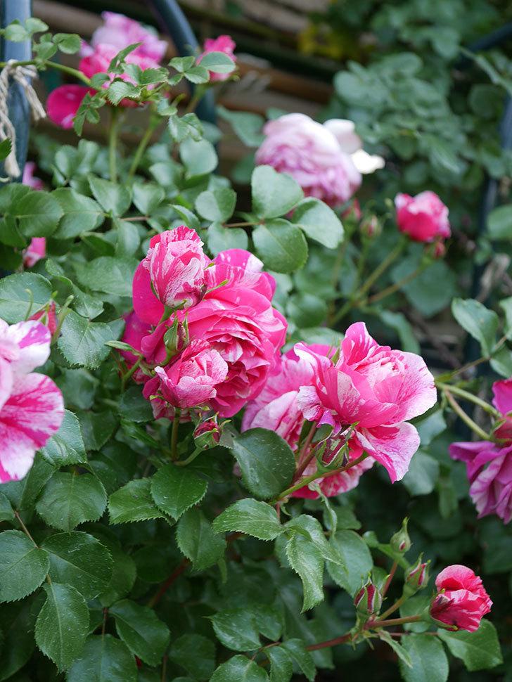 フランボワーズ バニーユ(Framboise Vanille)の花がたくさん咲いた。2021年-094.jpg