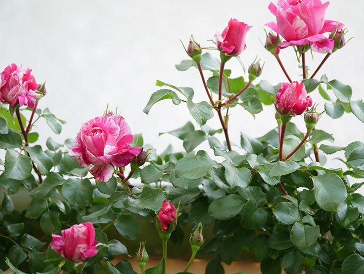 フランボワーズ バニーユ(Framboise Vanille)の花が咲いた。2021年-001.jpg