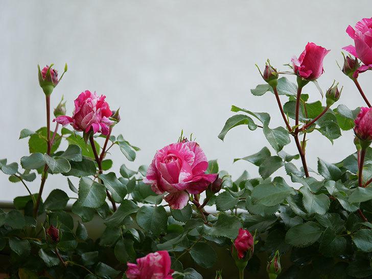 フランボワーズ バニーユ(Framboise Vanille)の花が咲いた。2021年-002.jpg