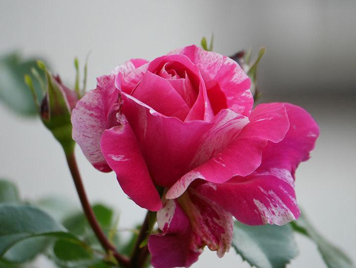 フランボワーズ バニーユ(Framboise Vanille)の花が咲いた。2021年-003.jpg