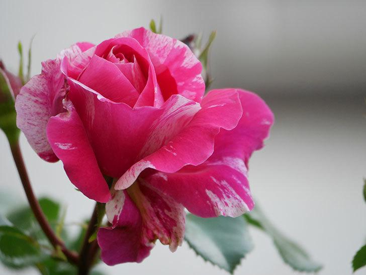 フランボワーズ バニーユ(Framboise Vanille)の花が咲いた。2021年-004.jpg