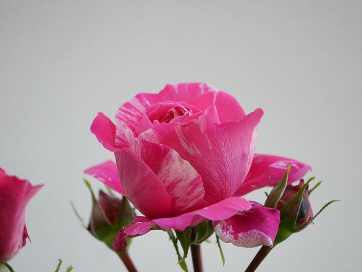 フランボワーズ バニーユ(Framboise Vanille)の花が咲いた。2021年-005.jpg