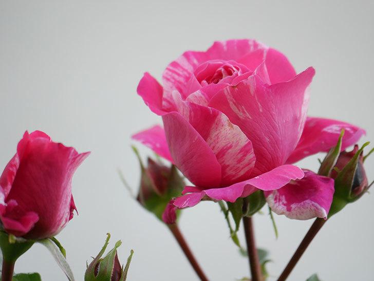 フランボワーズ バニーユ(Framboise Vanille)の花が咲いた。2021年-006.jpg
