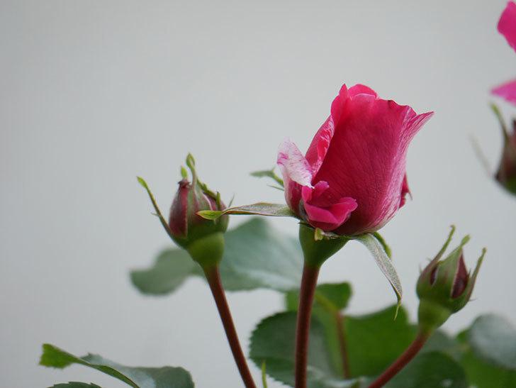 フランボワーズ バニーユ(Framboise Vanille)の花が咲いた。2021年-007.jpg
