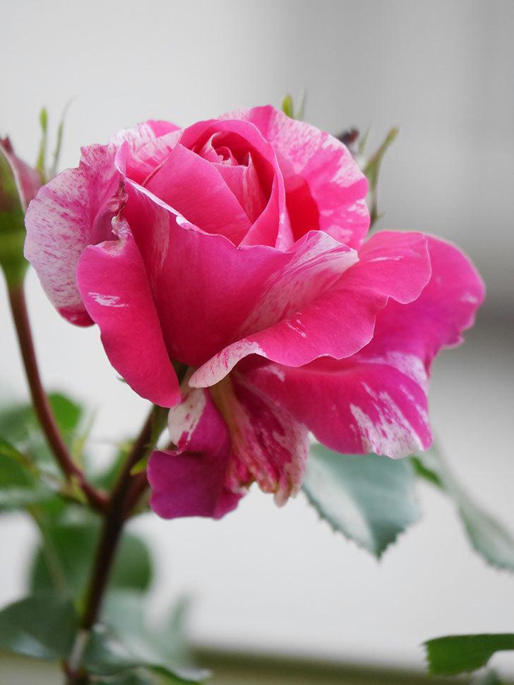 フランボワーズ バニーユ(Framboise Vanille)の花が咲いた。2021年-009.jpg