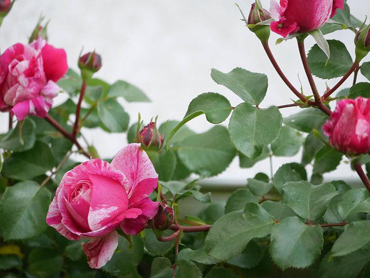 フランボワーズ バニーユ(Framboise Vanille)の花が咲いた。2021年-010.jpg