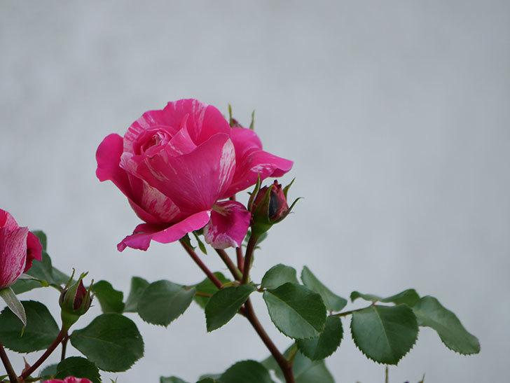 フランボワーズ バニーユ(Framboise Vanille)の花が咲いた。2021年-011.jpg