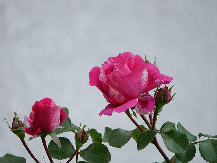 フランボワーズ バニーユ(Framboise Vanille)の花が咲いた。2021年-012.jpg