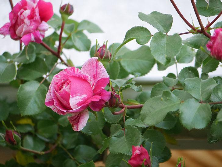 フランボワーズ バニーユ(Framboise Vanille)の花が咲いた。2021年-013.jpg