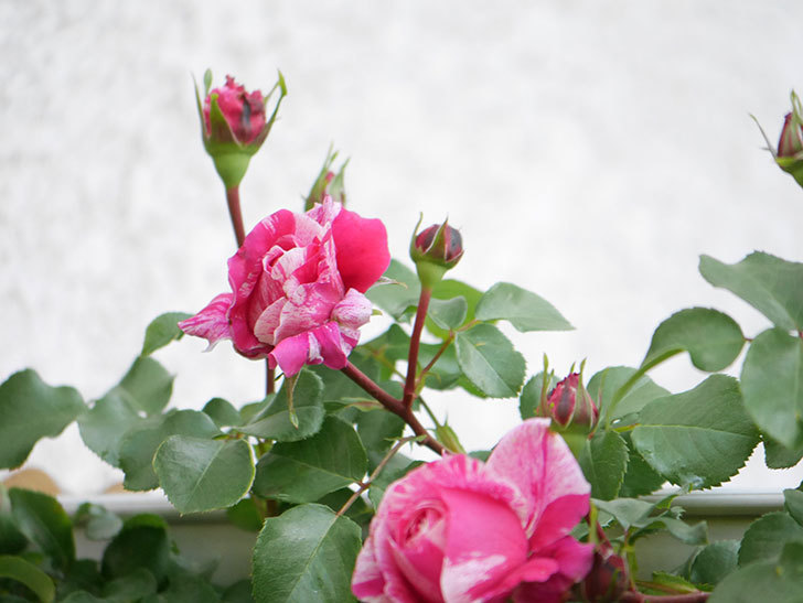 フランボワーズ バニーユ(Framboise Vanille)の花が咲いた。2021年-014.jpg