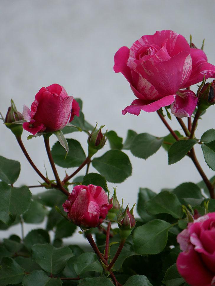 フランボワーズ バニーユ(Framboise Vanille)の花が咲いた。2021年-018.jpg