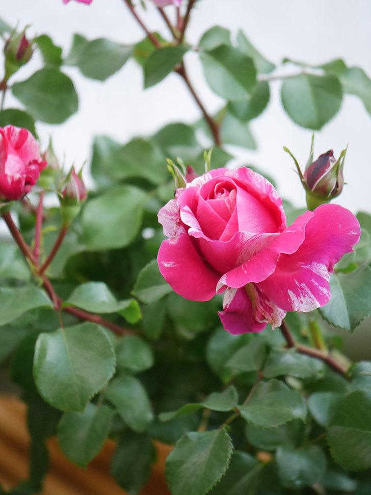 フランボワーズ バニーユ(Framboise Vanille)の花が咲いた。2021年-019.jpg
