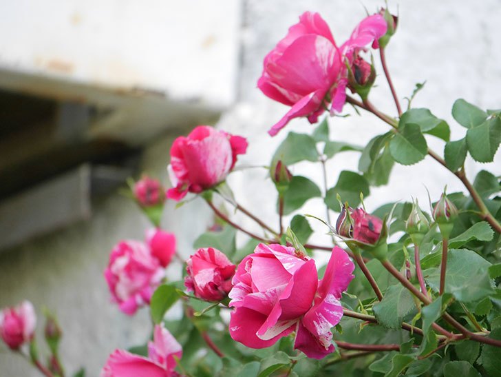 フランボワーズ バニーユ(Framboise Vanille)の花が咲いた。2021年-020.jpg
