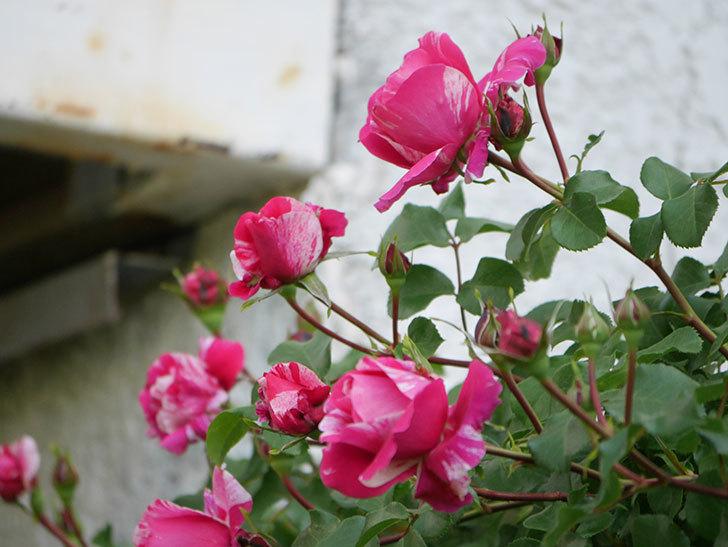 フランボワーズ バニーユ(Framboise Vanille)の花が咲いた。2021年-021.jpg