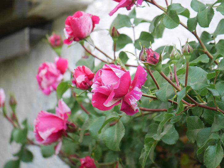 フランボワーズ バニーユ(Framboise Vanille)の花が咲いた。2021年-022.jpg