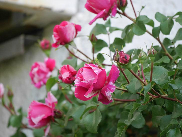フランボワーズ バニーユ(Framboise Vanille)の花が咲いた。2021年-023.jpg