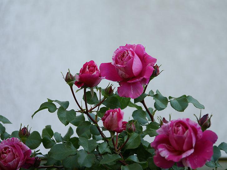 フランボワーズ バニーユ(Framboise Vanille)の花が咲いた。2021年-025.jpg