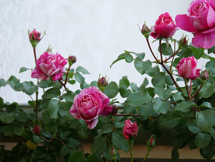 フランボワーズ バニーユ(Framboise Vanille)の花が咲いた。2021年-026.jpg