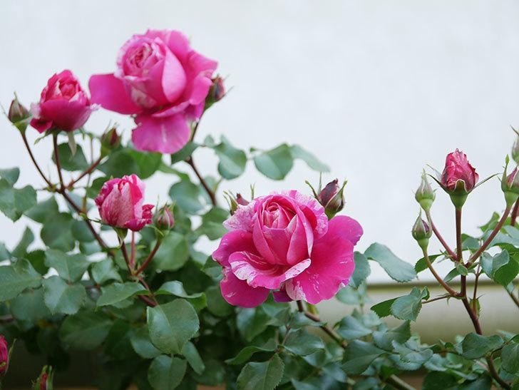 フランボワーズ バニーユ(Framboise Vanille)の花が咲いた。2021年-027.jpg