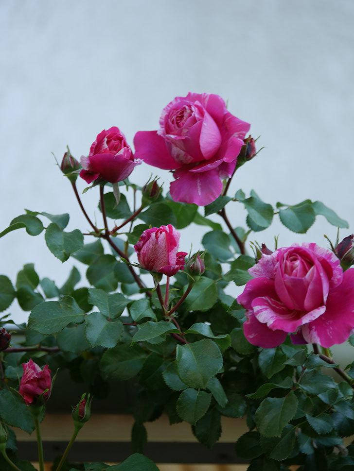 フランボワーズ バニーユ(Framboise Vanille)の花が咲いた。2021年-028.jpg