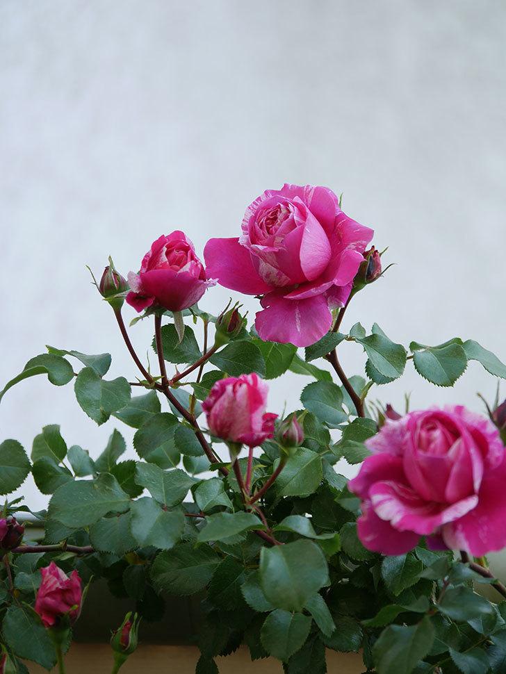 フランボワーズ バニーユ(Framboise Vanille)の花が咲いた。2021年-029.jpg
