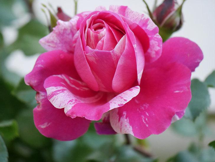 フランボワーズ バニーユ(Framboise Vanille)の花が咲いた。2021年-030.jpg