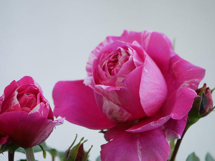フランボワーズ バニーユ(Framboise Vanille)の花が咲いた。2021年-031.jpg
