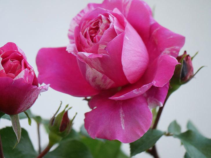 フランボワーズ バニーユ(Framboise Vanille)の花が咲いた。2021年-032.jpg