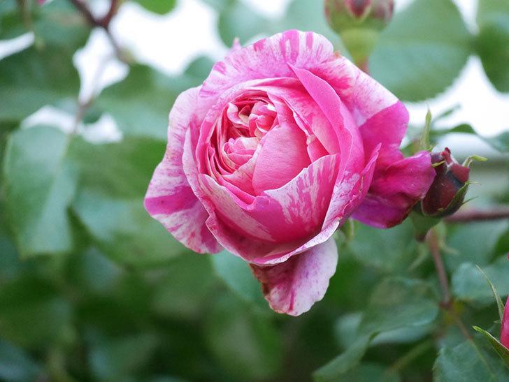 フランボワーズ バニーユ(Framboise Vanille)の花が咲いた。2021年-034.jpg