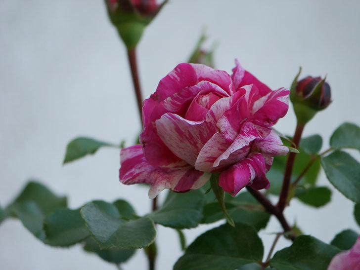フランボワーズ バニーユ(Framboise Vanille)の花が咲いた。2021年-036.jpg