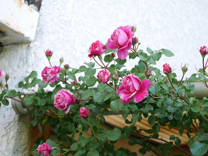 フランボワーズ バニーユ(Framboise Vanille)の花が咲いた。2021年-038.jpg